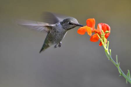 Hummingbird Seeking Nectar
