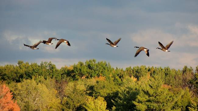 Canadian geese are flying south