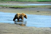 Alaskan Brown Bear 2
