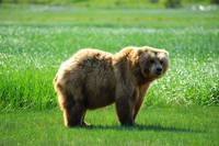 Alaskan Brown Bear 6