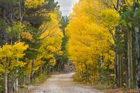 Colorado Autumn Aspen Road