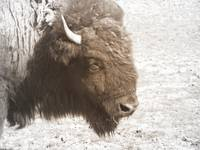 Bison At Ease