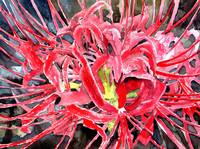 red flowers spider lily flower