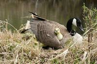 Canada Goose gosling getting comfortable