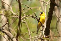 American Goldfinch Perched on a Tree