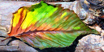 Colorful Macro Fall Leaf