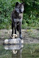 Black Wolf with Skull