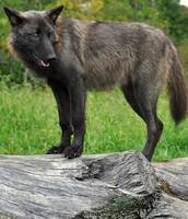 Black Wolf on Log