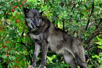 Black Wolf in Berry Bush