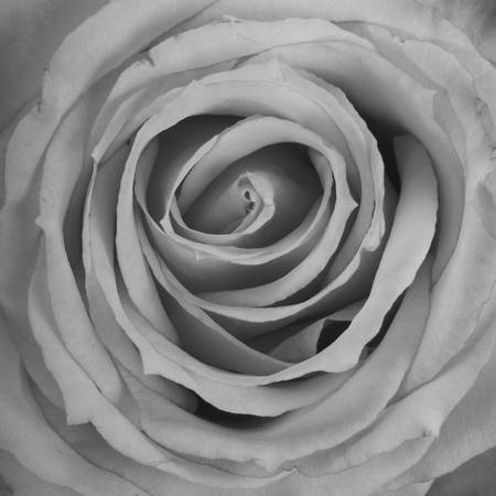 Black and White Spiral Rose Petals