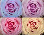 """Rose Spiral Colorful Mix by James """"BO"""" Insogna"""