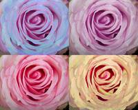 Rose Spiral Colorful Mix