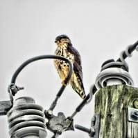 Merlin Falcon on a Very Heavy Wire