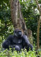 mighty silverback