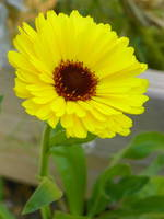 Yellow Calendula Flower