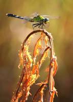 Autumn Dragonfly by Carol Groenen