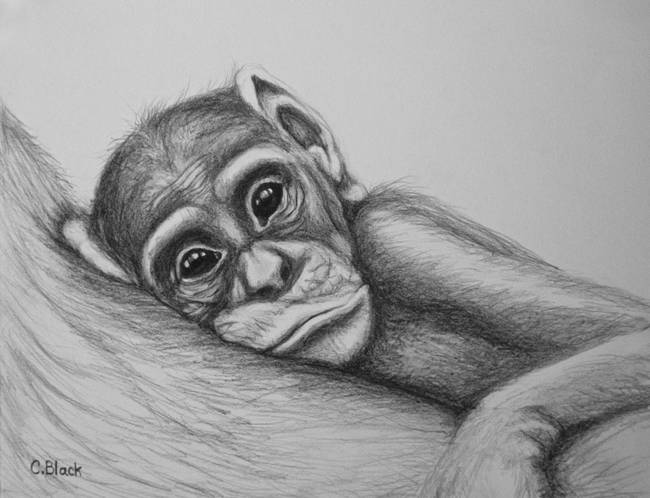 Baby chimp by crittersbychris 2012