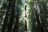 Sacred Redwood