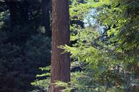 Redwood Composition