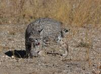 Bobcat in Search