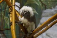 Cotton Head Tamarin