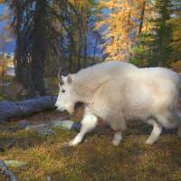 Mountain goat Art Prints & Posters by Canadian Photohunter