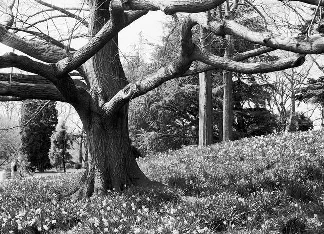 Tree & Daffodils, Brooklyn Botanic Garden