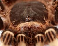 Close-up of a Tarantula's eyes.