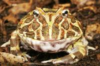 Ornate Horned Frog. Pacman Frog.