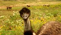 Emu and others