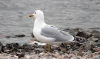 Herring Gull Gazing Over the Water