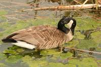Canada Goose Feeding on Algae