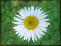 Single Daisy by Giorgetta Bell McRee