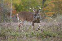 Buck Whitetail Deer by Daniel Teetor