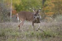 Buck Whitetail Deer by Daniel Teetor