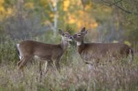 Affectionate Deer by Daniel Teetor