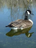 Canada Goose Swimming on a Lake