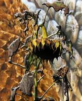 Sunflower Lifecycle Photomontage