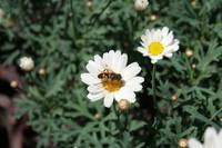 Pollen Covered Bee on a Daisy