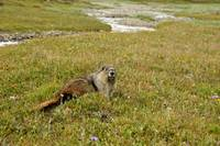Marmot on the meadow