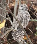 Barred Owl Stretching