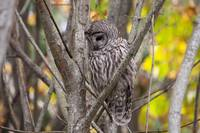 Sad Barred Owl