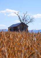 Abandoned Barn and Tree in Soybean field
