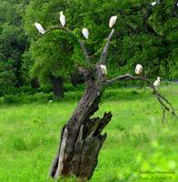 Cattle Egret Tree