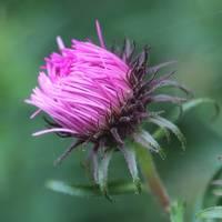 Pink Beauty by Carol Groenen