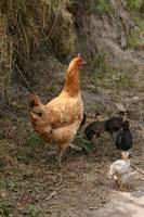 Free Range Chicken with Chicks