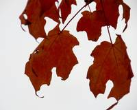 Red Maple Leaves - High Key