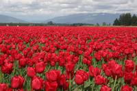 Tulip festival in Scaggit valley #2