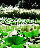 White Water Lotus