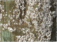 Barnacles by Giorgetta Bell McRee